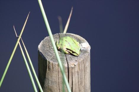Pacific Chorus Frog #3