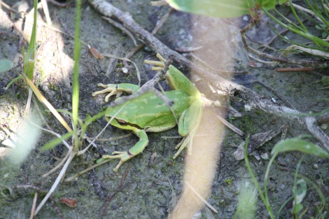 Pacific Chorus Frog#2
