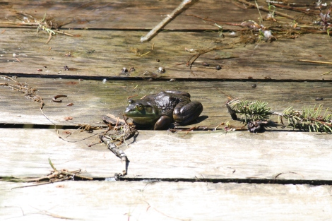 This is an invasive species of frog that is descimating a wide variety of pond life in BC and is killing off native frog species. It can eat ducklings! If you see one, eliminate it!
