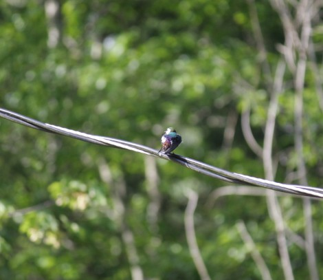 Definitely a Violet-Green Swallow on the hydro wire.