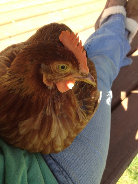 It is hard to get anything productive done around the Queendom when your lap is busy with a chicken.