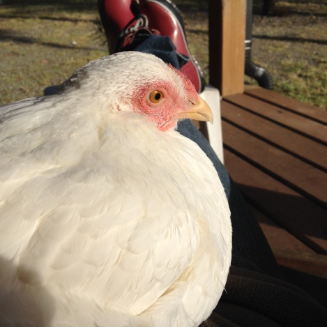 Dee sat with me for a good long snooze in the sun. She watched the chicks and kept a close eye on our rooster, Skana, who was keen to jump her bones.