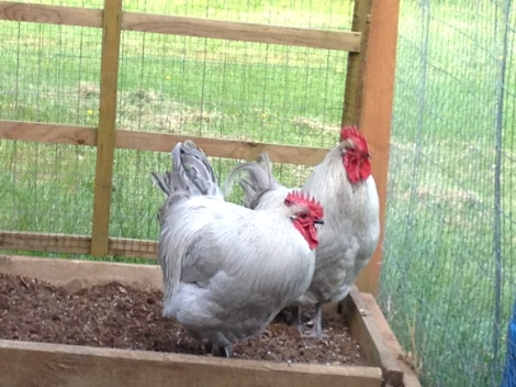 "Quickly dubbed ""The Matrix Twins"", Pancake and Waffles are Lavendar Orpingtons whose thick silver feathers shine an iridescent purple."