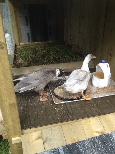 It was a day of celebration when the ducks finally went into the Duck Palace to find their food.